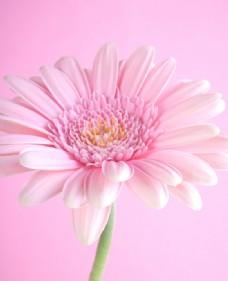粉红色鲜花背景图片