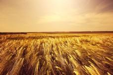 秋天麦地风景摄影图片