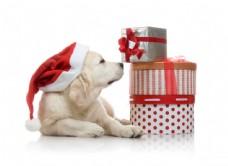 狗与礼物图片