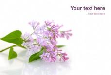丁香花朵图片