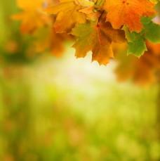 秋天枫叶背景素材图片