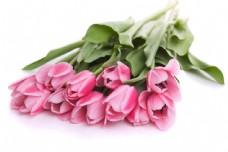 郁金香鲜花摄影图片