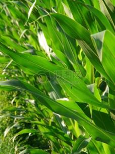 绿油油的玉米田