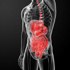人体内脏器官图片