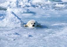 雪地上的海豹图片