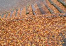 金色枫叶摄影图片