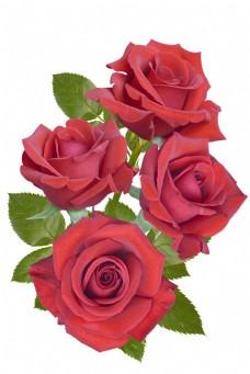 一株玫瑰花图片