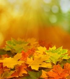 阳光与梧桐叶背景图片