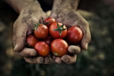 双手捧着的西红柿图片