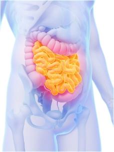 肠子器官图片