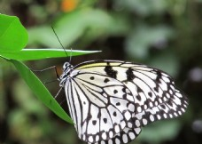 黑白斑点蝴蝶特写