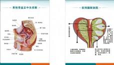 男科生殖解剖图