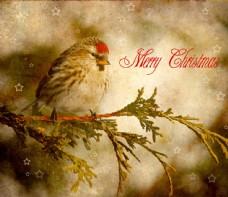 冬天的小鸟背景素材图片