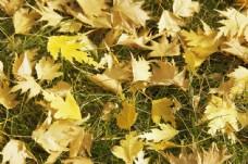 草地上的枫叶图片