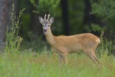 草地里的小鹿图片