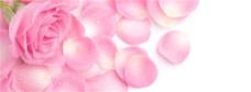 粉色玫瑰花背景图