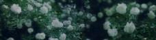 蔷薇花朵背景banner设计