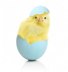 破蛋壳里的小黄鸭图片