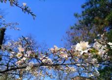 樱花  花朵