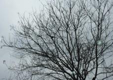 一只喜鹊在枝头