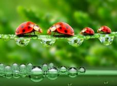 瓢虫与露珠水滴图片