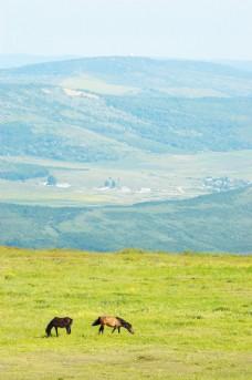 草原上吃草的骏马图片